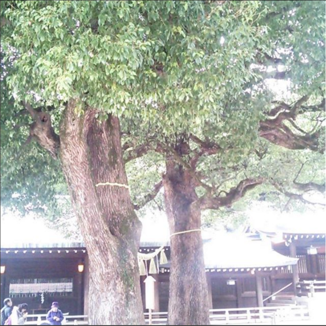 meijijingu_sinboku.PNG